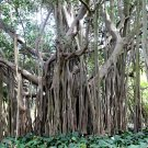 Ficus Benghalensis Tree 100+ Seeds, Banyan, Bengal Fig, East Indian Fig