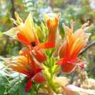Melianthus Comosus Bush 8 Seeds, Tufted Honey Flower Shrub