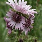 Berkheya Purpurea 15 Seeds, Purple Berkheya African Perennial