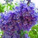 Jacaranda Mimosifolia Fern Tree 20 Seeds, Fragrant Blue Jacaranda, Bonsai
