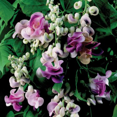 VIGNA CARACALLA, Sweet Fragrance Cork Screw Vine 4 Seeds