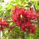 African Schotia Brachypetala Tree 5 Seeds ~ Rich Deep Red