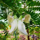 Sesbania Grandiflora Original White 20 Seeds, Hummingbird Tree Edible Agati