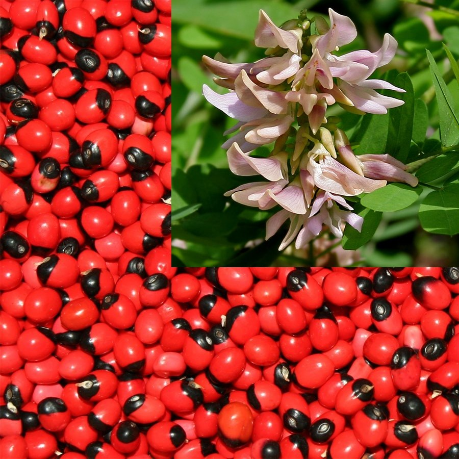 Abrus Precatorius Vine 100 Seeds, Craft Jewelry Beads, Rosary Pea
