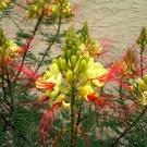 Caesalpinia Gilliesii Shrub/Tree Eye Poping Flowers!! Yellow Bird of Paradise 500 Seeds.