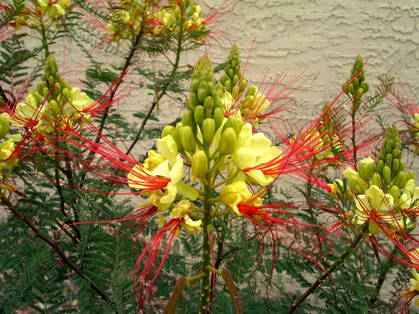 Caesalpinia Gilliesii Shrub/Tree Eye Poping Flowers!! Yellow Bird of Paradise 10 Seeds.