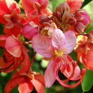 Cassia Roxburghii, Red Cassia Shower Tree 8 Seeds