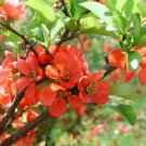 Chaenomeles Japonica 10 Seeds, Cold Hardy Red Japanese Quince Shrub