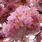 Tabebuia Rosea Tree 200 Seeds, Pink Poui, Pink Trumpet Tree !