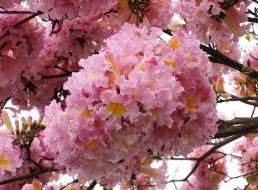 Tabebuia Rosea Tree 60 Seeds, Pink Poui, Pink Trumpet Tree !