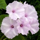 Ipomoea Carnea 10 Seeds, Morning Glory Shrub Tree Bush! Great for smaller yards...
