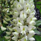 Robinia Pseudoacacia Tree 50 Seeds, Fragrant Cold Hardy Black Locust