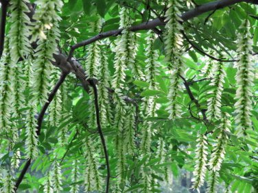 Pterocarya Stenoptera Tree 15 Seeds, Chinese Wingnut