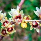 Chimonanthus Praecox Shrub 200 Seeds, Fragrant Wintersweet, Hardy Japanese Allspice