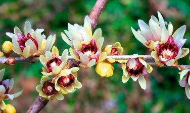 Chimonanthus Praecox Shrub 200 Seeds, Fragrant Wintersweet, Hardy Japanese Allspice
