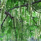 Pterocarya Stenoptera Tree 100 Seeds, Chinese Wingnut