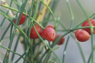 Ephedra Sinica 50 Seeds, Ma-Huang Medicinal Mormon Tea, Hardy Herb