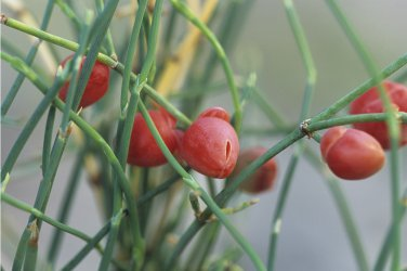 Ephedra Sinica 250 Seeds, Ma-Huang Medicinal Mormon Tea, Hardy Herb