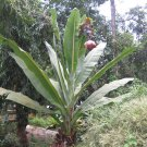 Ensete Superbum 5 Seeds, The Hardy Rock Or Cliff  Banana Ornamental Tree