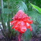 Etlingera Elatior 15 Seeds, Ornamental Tropical PINK Torch Ginger