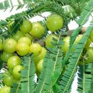 Phyllanthus Emblica Tree 15 Seeds, Medicinal Indian Gooseberry, Edible Amla Fruit, Emblic Myrobalan