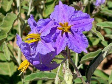 Solanum Virginianum 25 Seeds, Small Shrub Surattense Medicinal Yellow-Fruit Nightshade