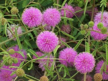 Mimosa Pudica 50 Seeds,  The Sensitive Plant, Touch Me Not Herb, Tickle Me