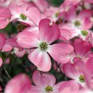 Cornus Florida Rubra Tree 20 Seeds, Pink Flowering Hardy Native Dogwood