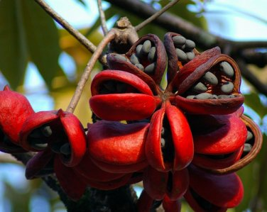 Sterculia Foetida Tree 5 Seeds, Java Olive, Wild Indian Almond, Peon