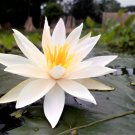 Nymphaea Pubescens White 15 Seeds, Hairy Water Lily For Aquarium Or Ponds