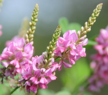Indigofera pseudo- tinctoria, Chinese True Indigo Bush Shrub 500 Seeds, Ground Cover