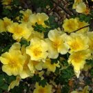 Rosa Xanthina 1500 Seeds, Fragrant Wild Manchu Yellow Rose Shrub, Cold Hardy, Canary Bird