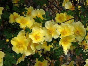 Rosa Xanthina 1500 Seeds, Fragrant Wild Manchu Yellow Rose Shrub, Cold Hardy, Canary Bird