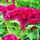 Celosia Cristata Pink 500+ Seeds, Edible Heirloom Crested Cockscomb, Flowering Annual