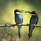 Bird Behavior - Courtship & Mating
