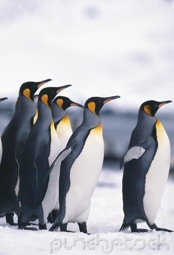 Curriculum Design & Instruction To Teach About Penquins