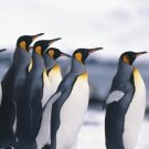 Curriculum Design & Instruction To Teach About Penquins