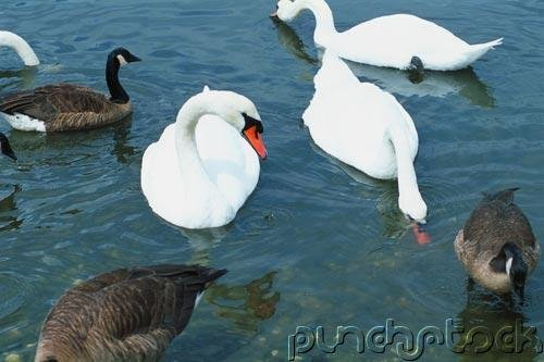Ducks - Geese - Swans Of North America
