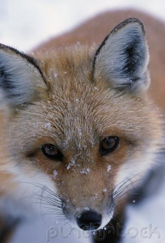 Foxes: The World of Foxes