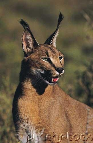 Forest Cat Of North America - Cougars, Bobcats & Lynx