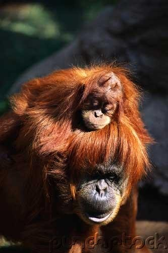 Orangutans - Their Evolution - Behavior & Future