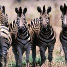 Zebras - A Natural History of Zebras