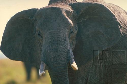 Elephants- The Astonishing Elephant - Part II