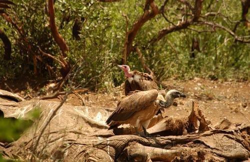 Raptors - Eagles - Hawks - Falcons & Vultures - Part I