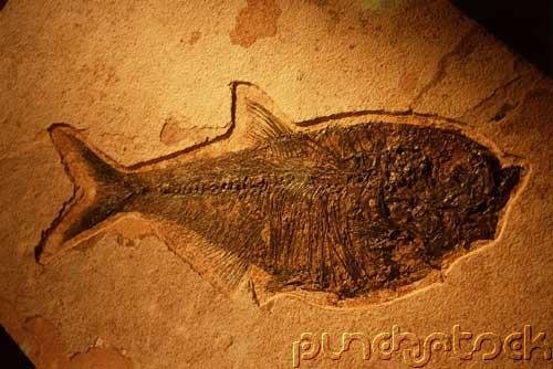 Prehistoric Life - Fossil Fishes