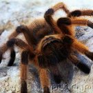 Insects - Spiders & Other Terrestrial Arthropids