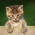 Domestic Cat Breeds - Introduction To Longhairs