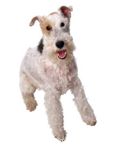 The Breeds - Histories & Official Standards - The Groups - Group IV - Terrier Breeds