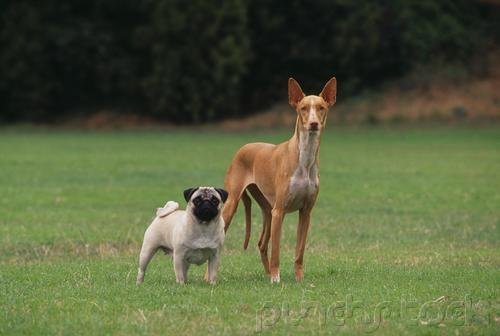 The Breeds  - Histories & Official Standards - The Groups - Group II - Hound Breeds