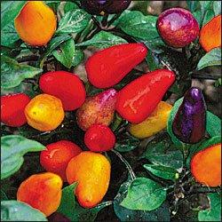 Aurora hot pepper seeds